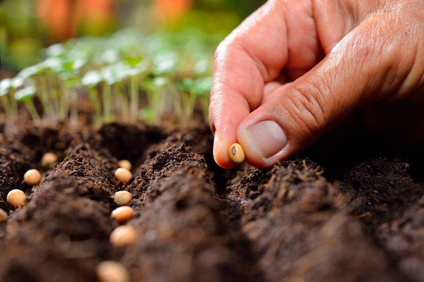 Семена сеют или сажают 138