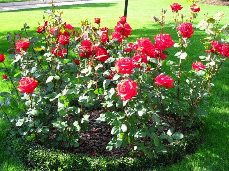 Фото клумб с розами и другими цветами